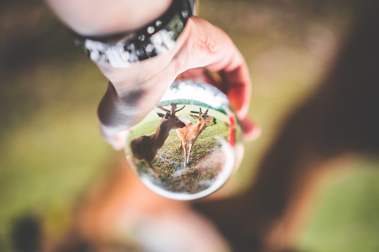 Фотография Олени Размытый фон отражении Руки Шарики стекле Животные боке Отражение отражается Шар рука Стекло стеклом животное