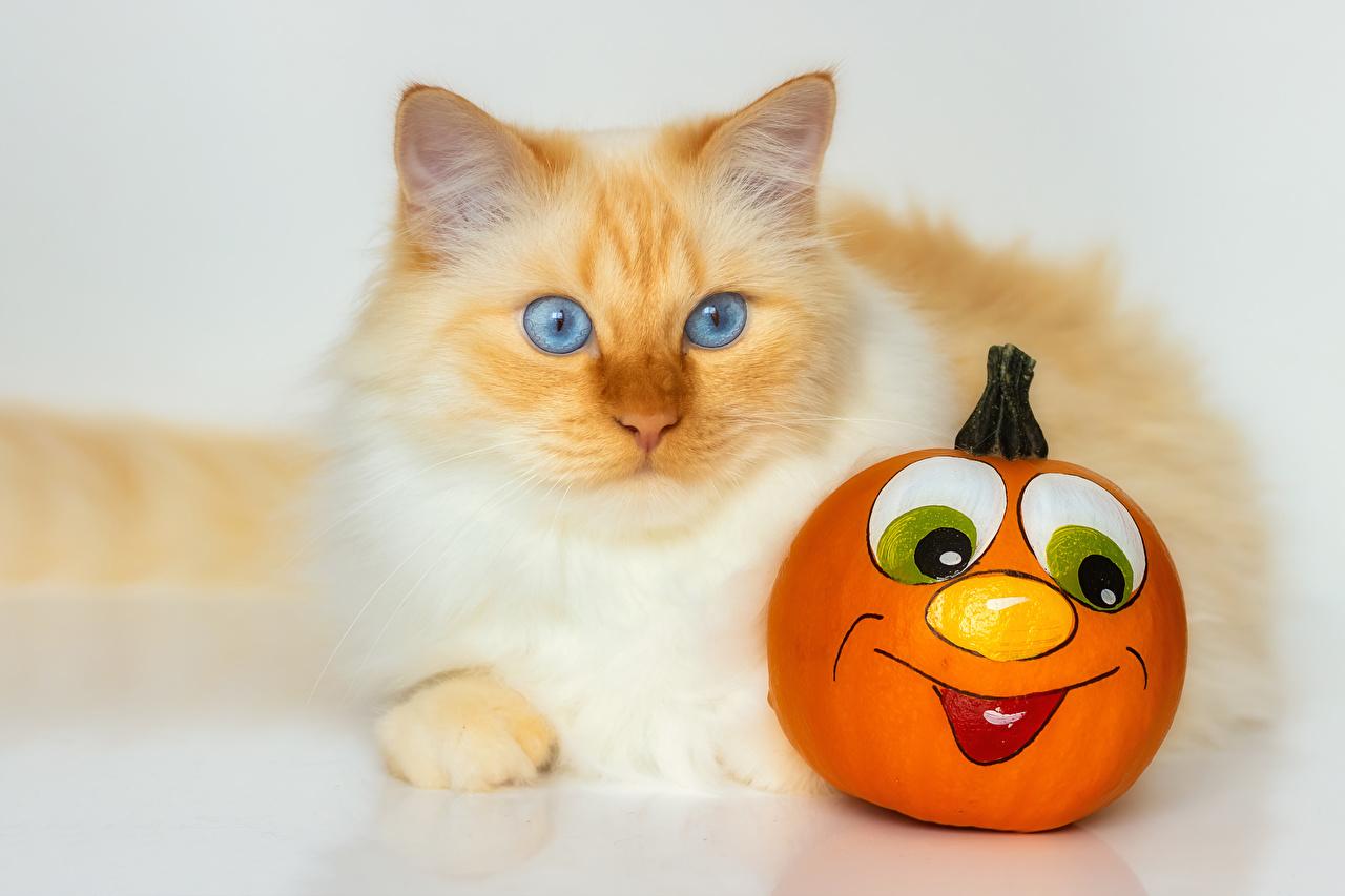 Картинки кошка Тыква животное кот коты Кошки Животные