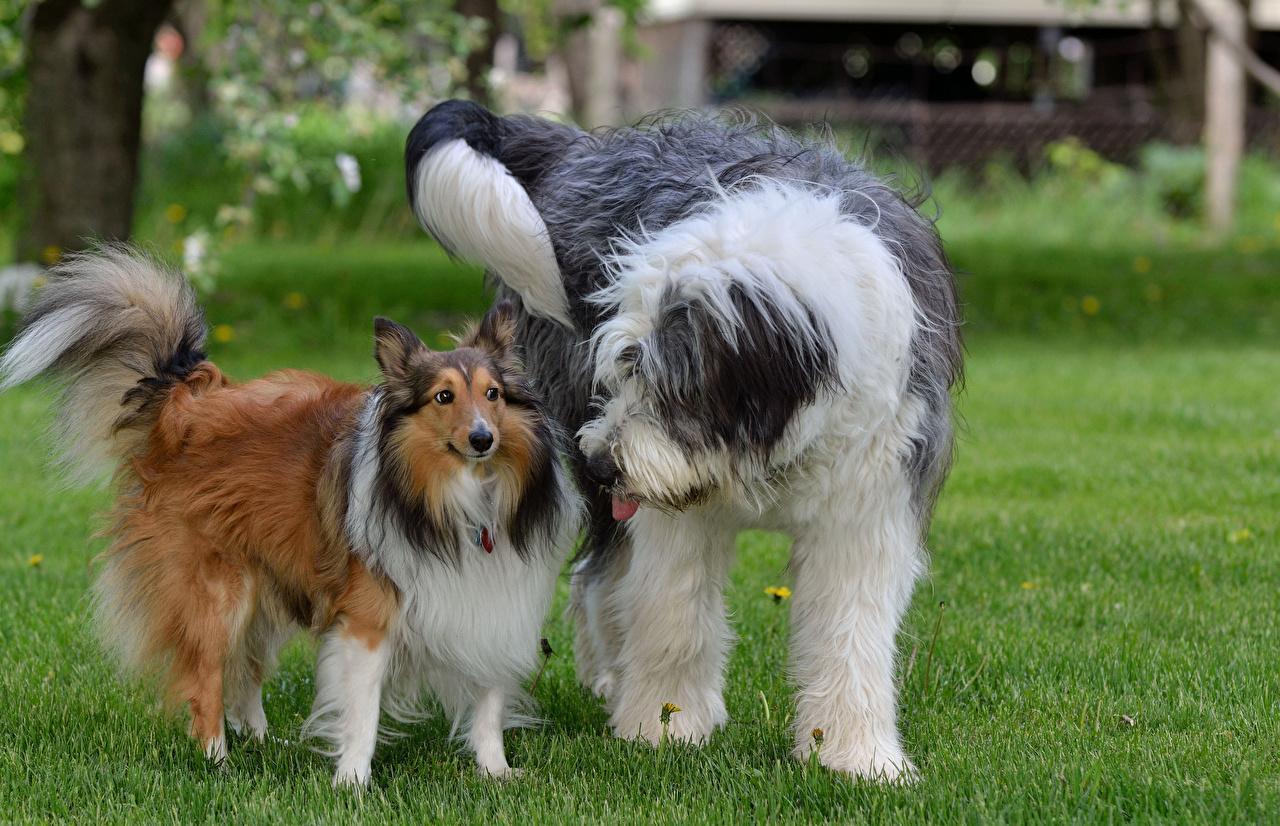 Фото Колли староанглийская овчарка собака Трава животное Бобтейл Собаки траве Животные