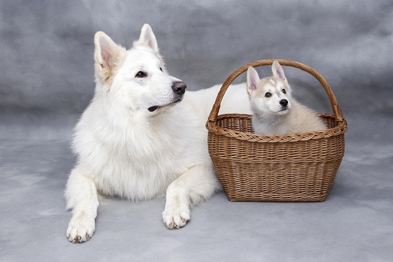 Фотография Щенок Собаки Белый Лапы Корзина смотрит Животные Корзинка Взгляд