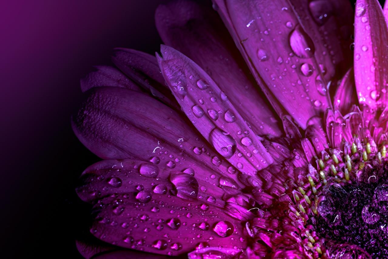 Обои для рабочего стола гербера Фиолетовый Макро Капли Цветы вблизи Герберы фиолетовая фиолетовые фиолетовых капля капель цветок капельки Макросъёмка Крупным планом