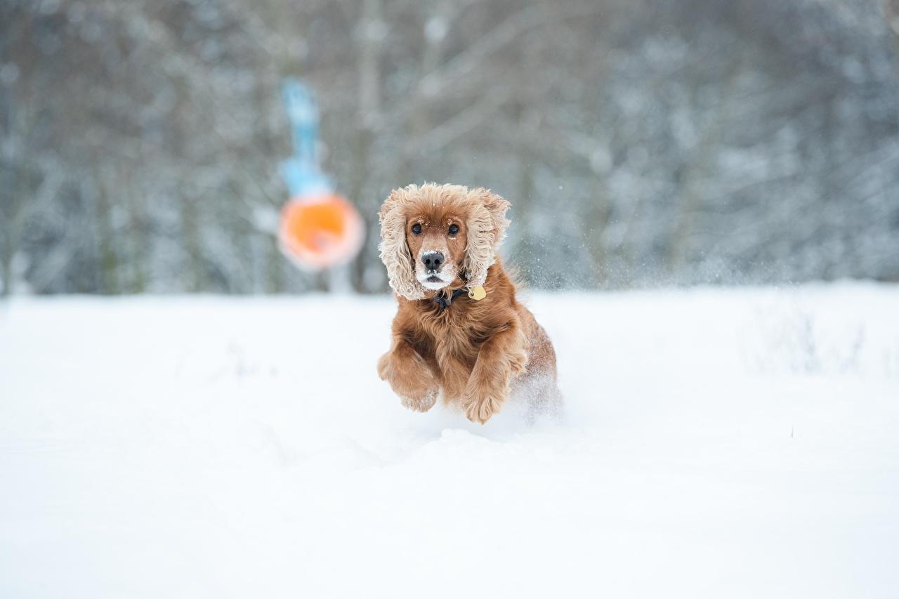 Обои для рабочего стола спаниеля Собаки бежит Размытый фон Зима снегу животное Спаниель собака Бег бегущая бегущий боке зимние Снег снега снеге Животные