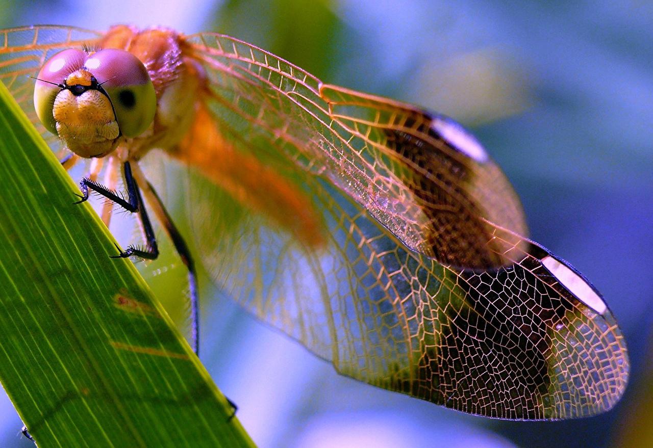 Фотография Стрекозы насекомое Животные Крупным планом Насекомые вблизи животное