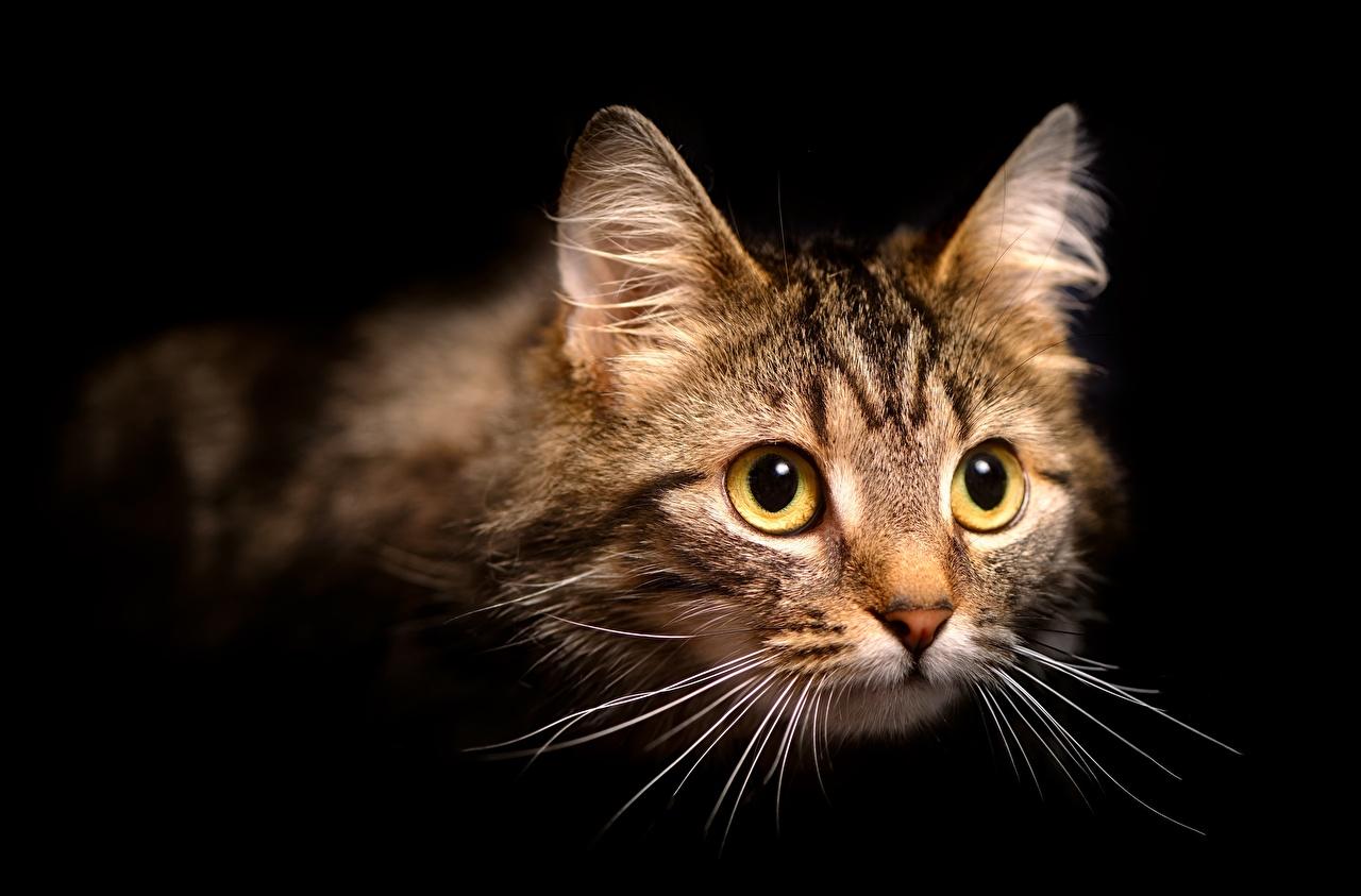 Фотография коты Усы Вибриссы Морда Взгляд животное на черном фоне кот Кошки кошка морды смотрят смотрит Животные Черный фон
