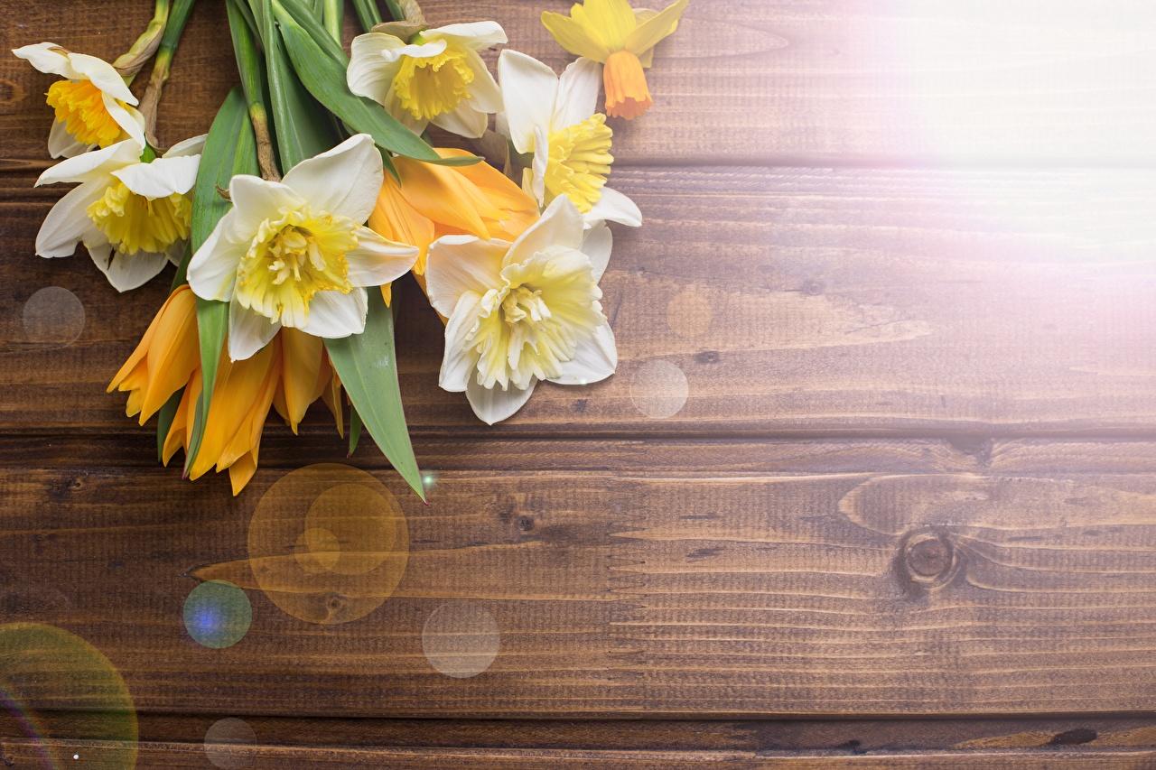 Фотографии цветок Нарциссы Доски Цветы
