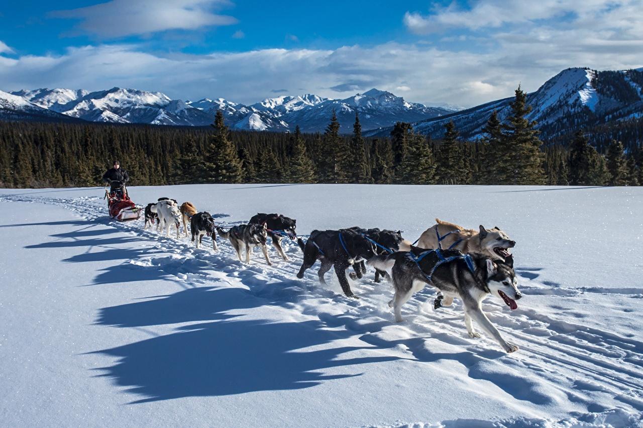 Картинка Хаски Собаки Тень Бег Сани Горы Зима Снег Леса Животные Санки зимние