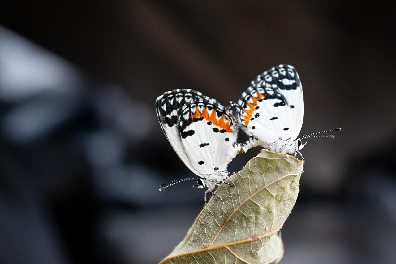 Фотографии бабочка боке Двое Животные Бабочки Размытый фон 2 два две вдвоем животное