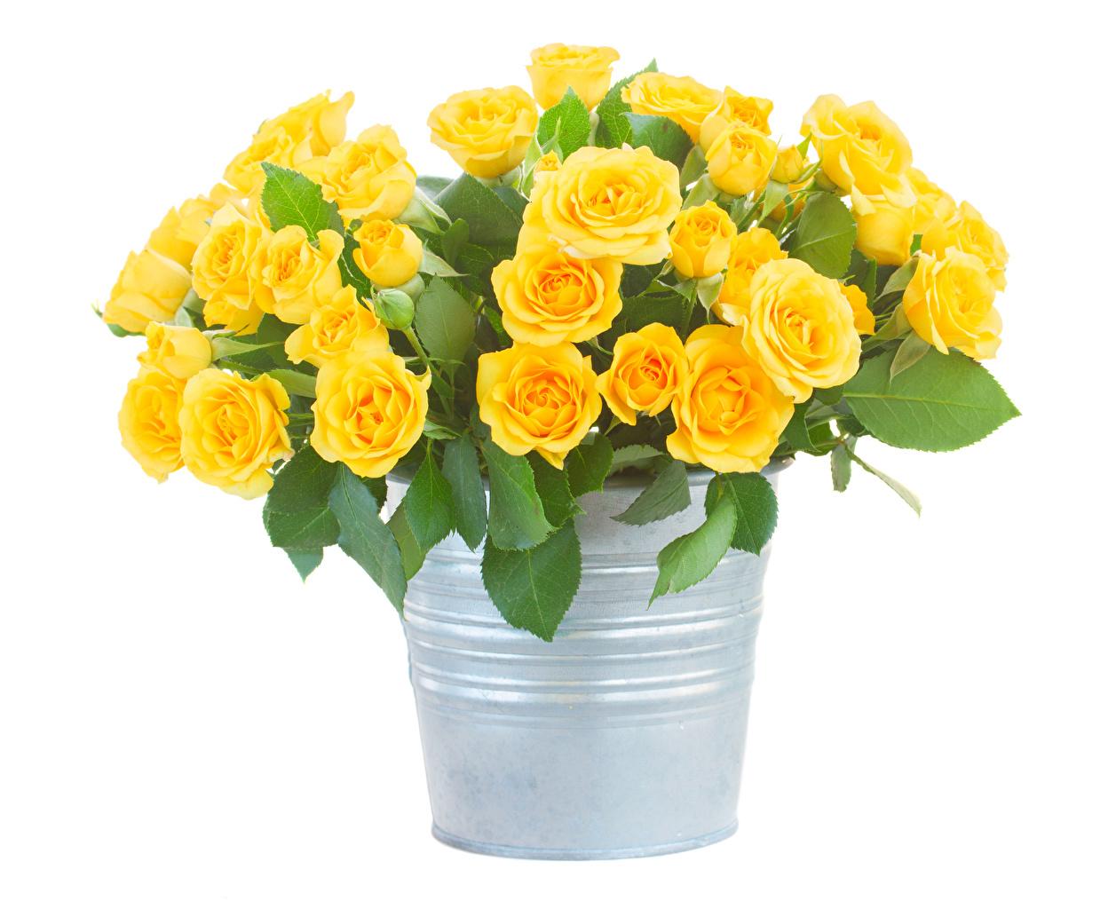Картинка Розы ведра Желтый цветок Белый фон роза ведре Ведро желтых желтая желтые Цветы белом фоне белым фоном