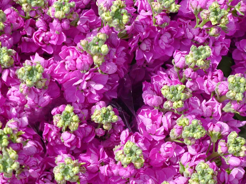 Картинка Розовый Цветы Маттиола Бутон вблизи Левкой Крупным планом