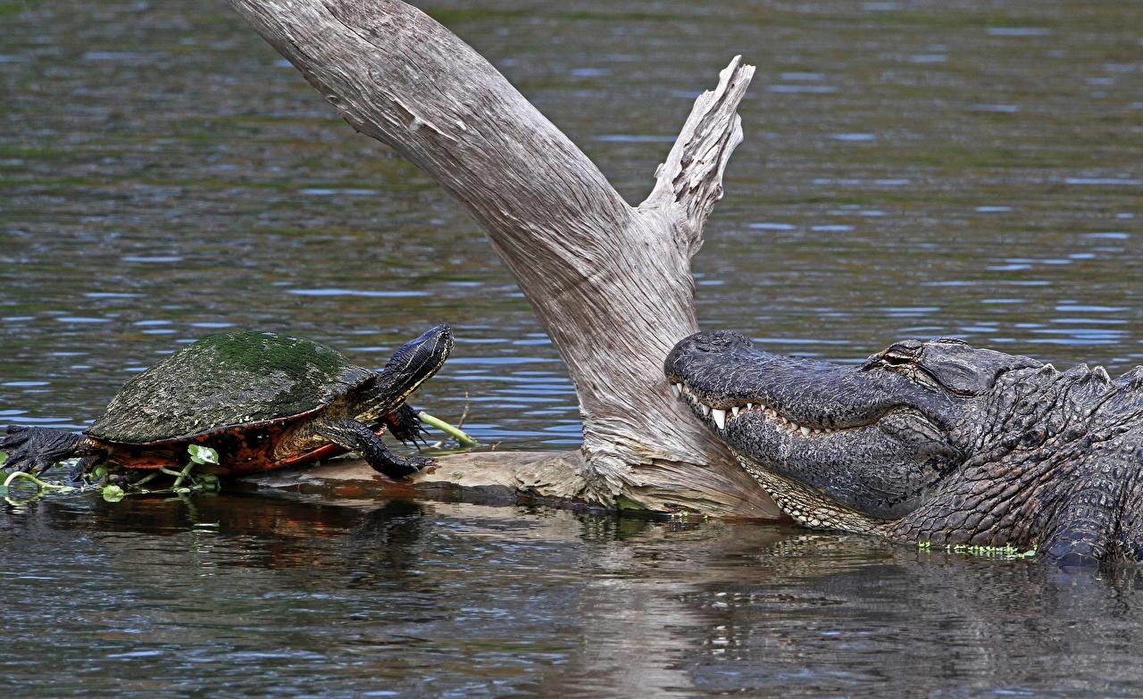 Фотографии Черепахи крокодил Ствол дерева Вода Животные Крокодилы воде животное