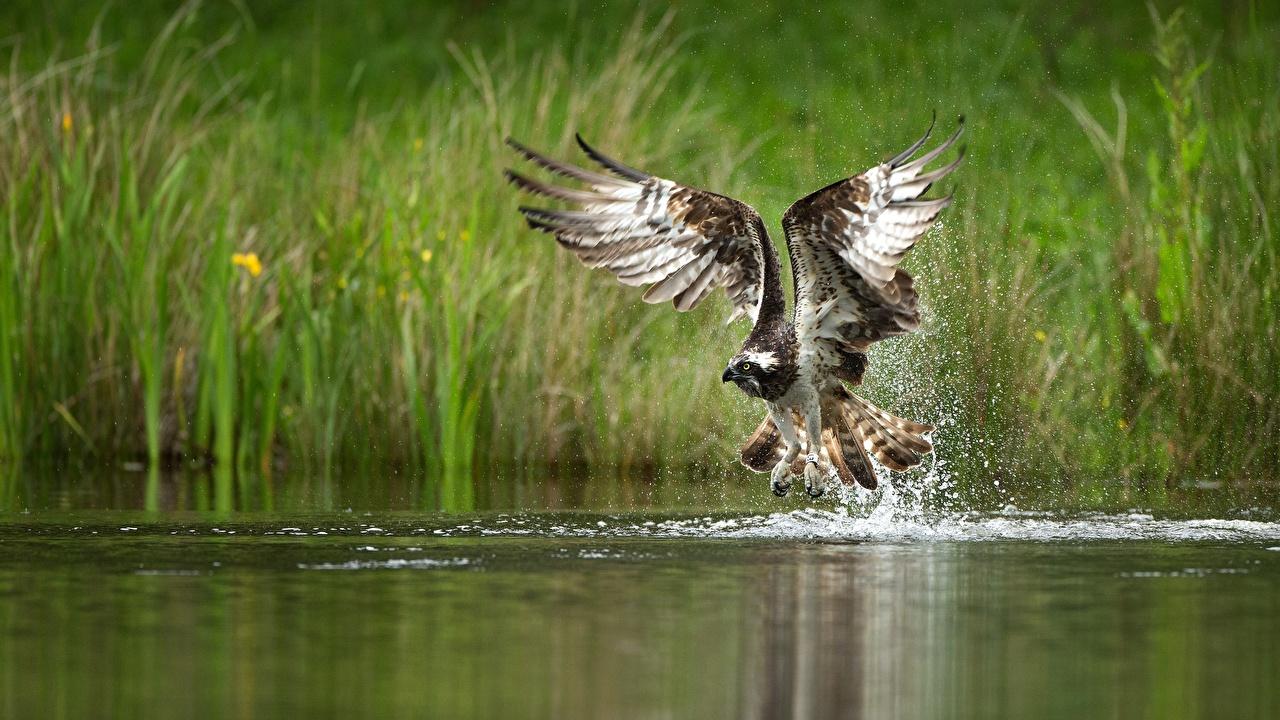 Фото птица Ястреб Крылья Брызги воде животное Птицы с брызгами Вода Животные
