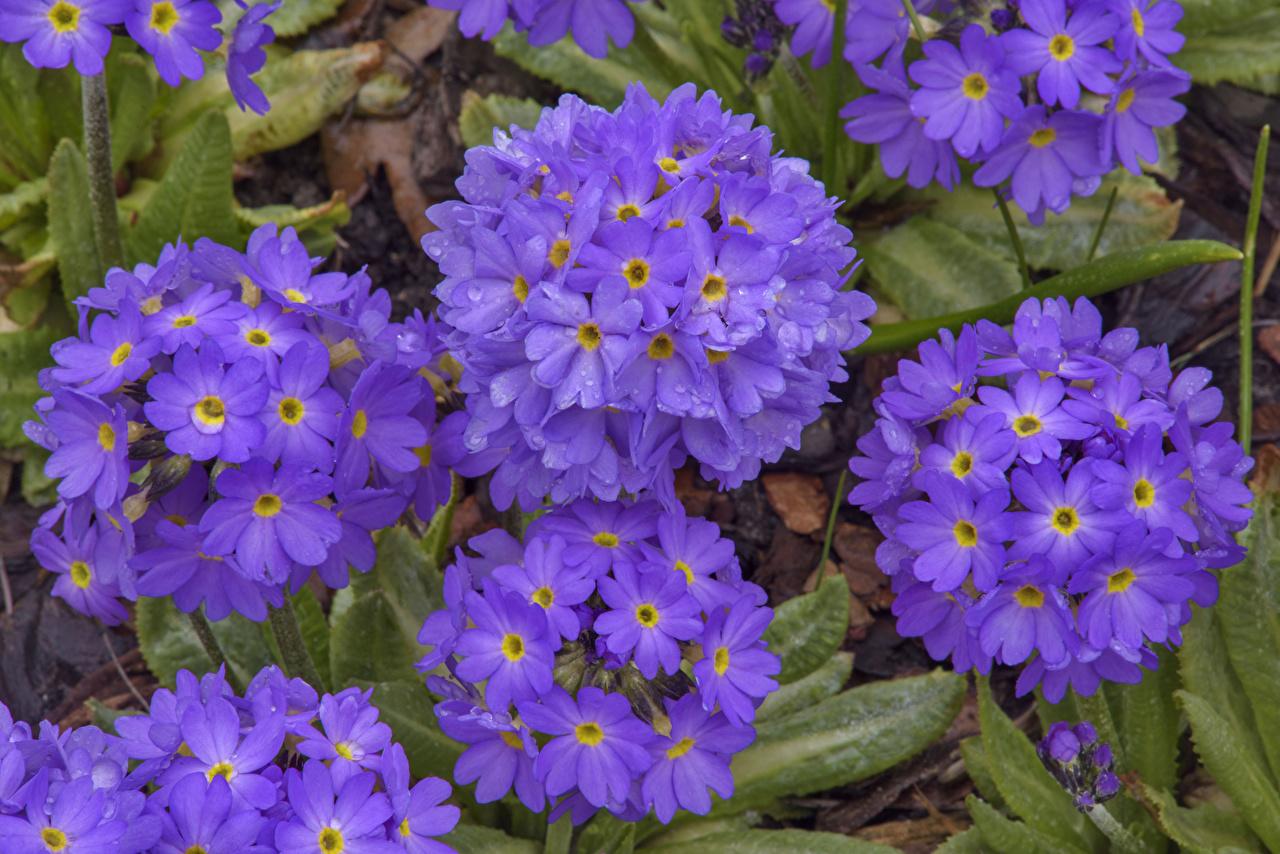 Обои для рабочего стола Фиолетовый цветок Примула вблизи фиолетовая фиолетовые фиолетовых Цветы Первоцвет Крупным планом