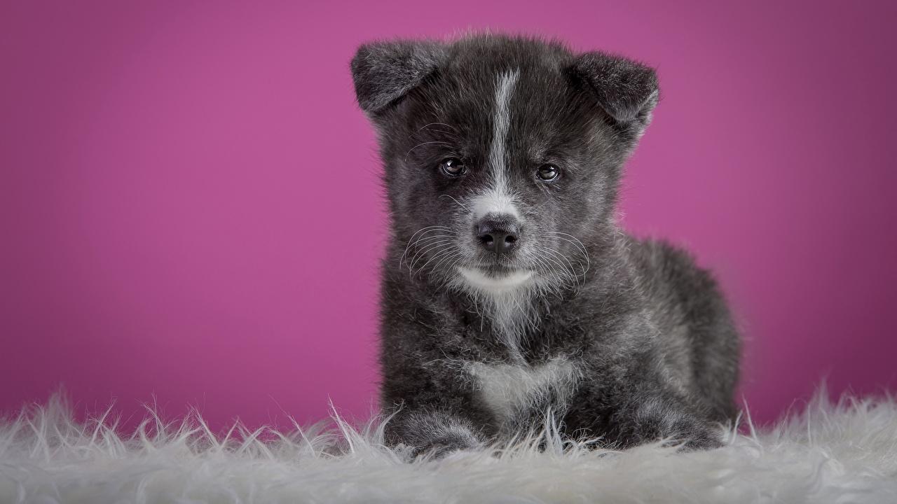Фотографии Щенок Акита-ину Собаки Серый Взгляд Животные смотрит