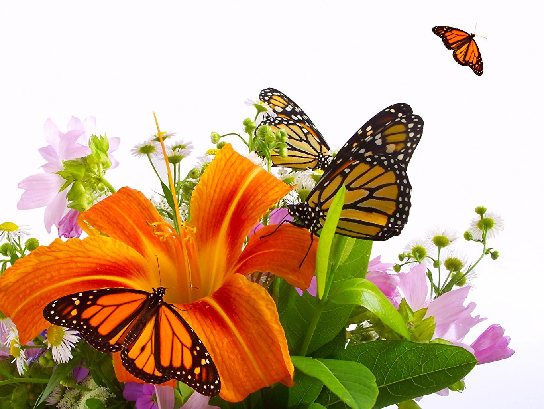 Обои для рабочего стола Данаида монарх бабочка Насекомые лилия цветок Бабочки насекомое Лилии Цветы