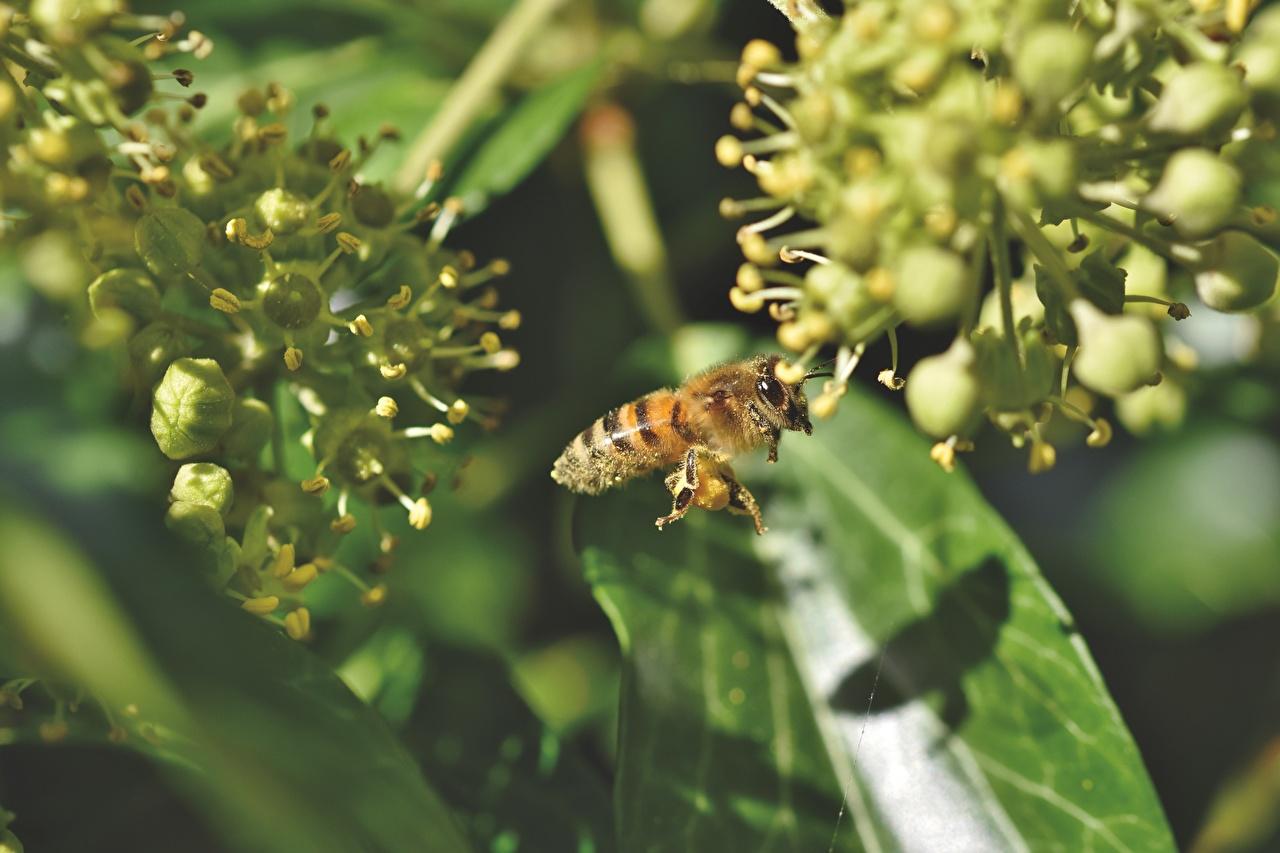 Обои для рабочего стола Пчелы насекомое Размытый фон вблизи животное Насекомые боке Животные Крупным планом
