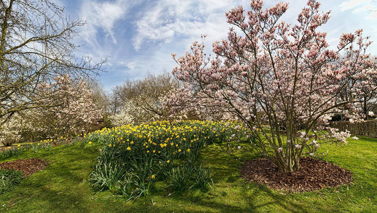 Картинка Германия Park Ruhr Природа Парки Нарциссы Цветущие деревья парк