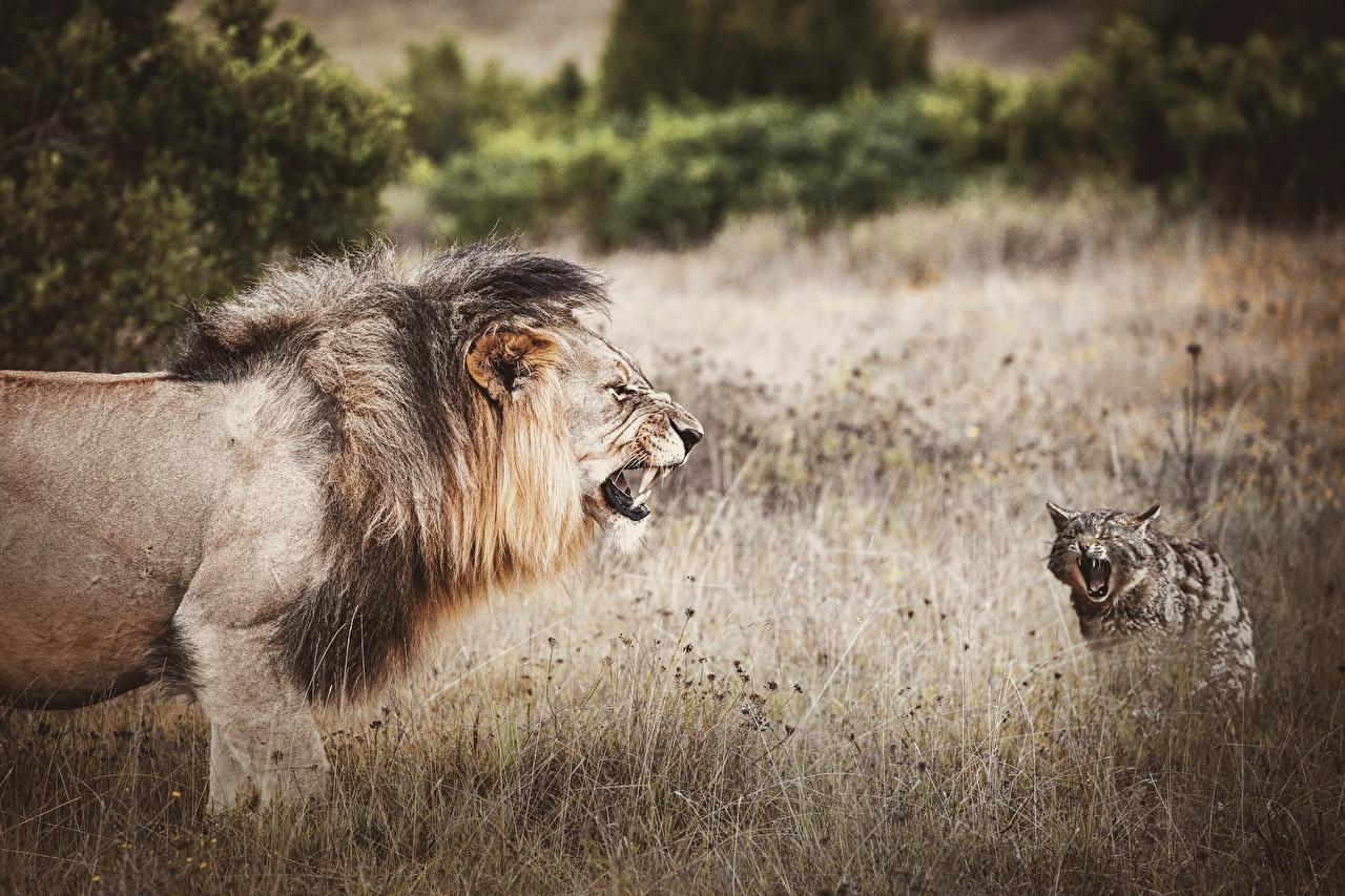 Фото лев кот злость Животные Львы коты кошка Кошки злой Оскал рычит животное