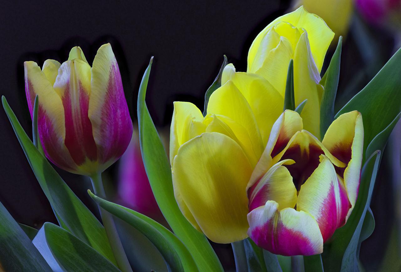 Обои для рабочего стола тюльпан цветок Крупным планом Тюльпаны Цветы вблизи