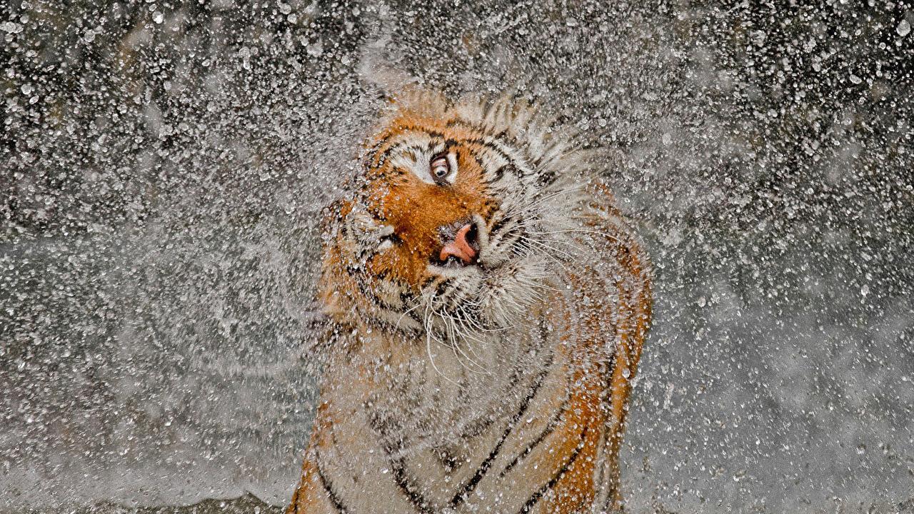 Картинка Тигры Большие кошки Брызги животное тигр с брызгами Животные
