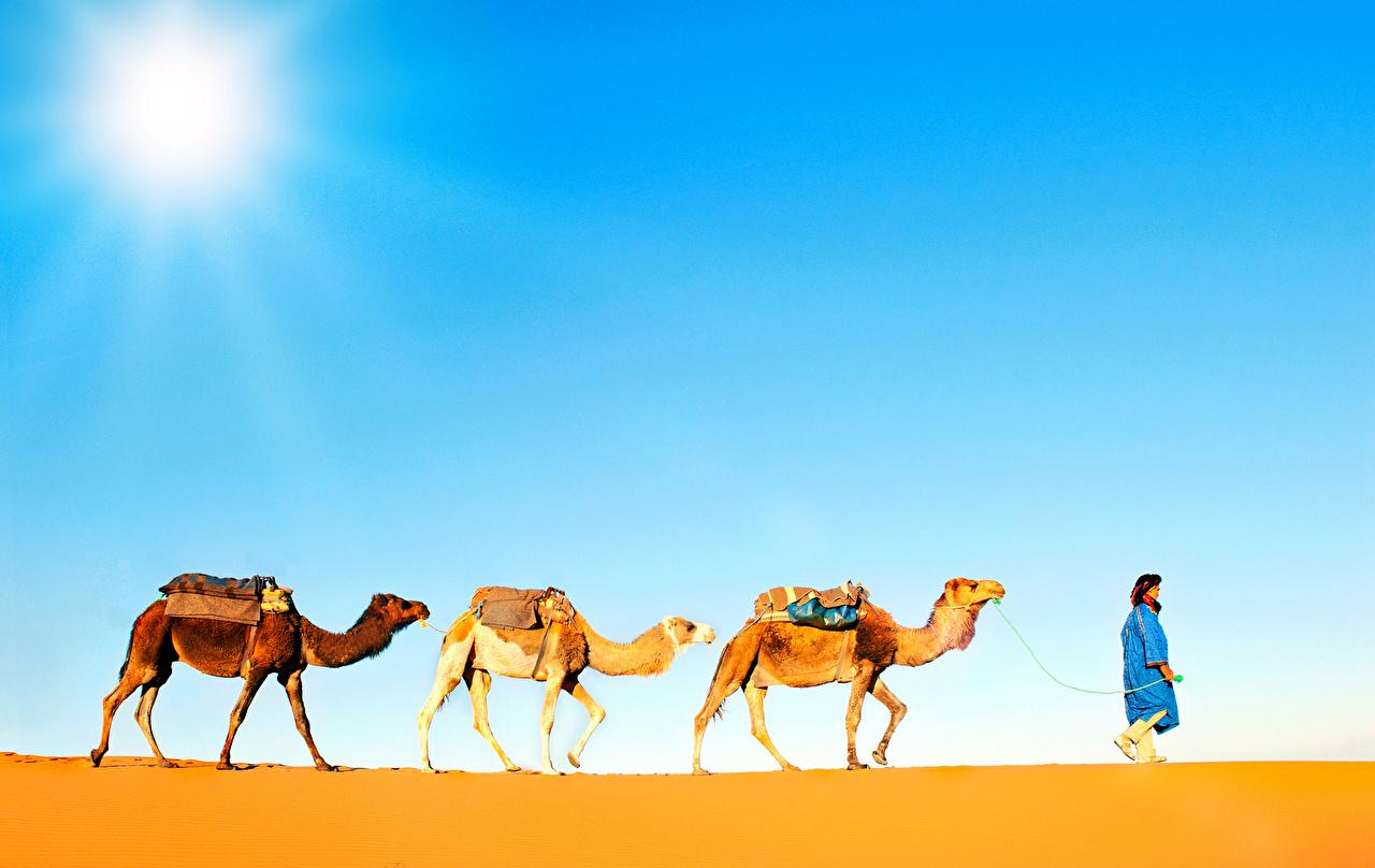 Фото Верблюды Пустыни Трое 3 Животные втроем