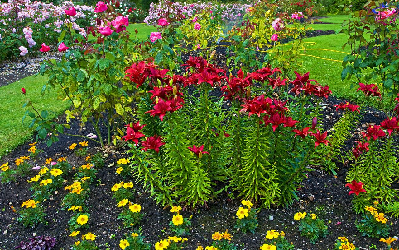 Фотография Queen Elizabeth Park Лилии Цветы Парки
