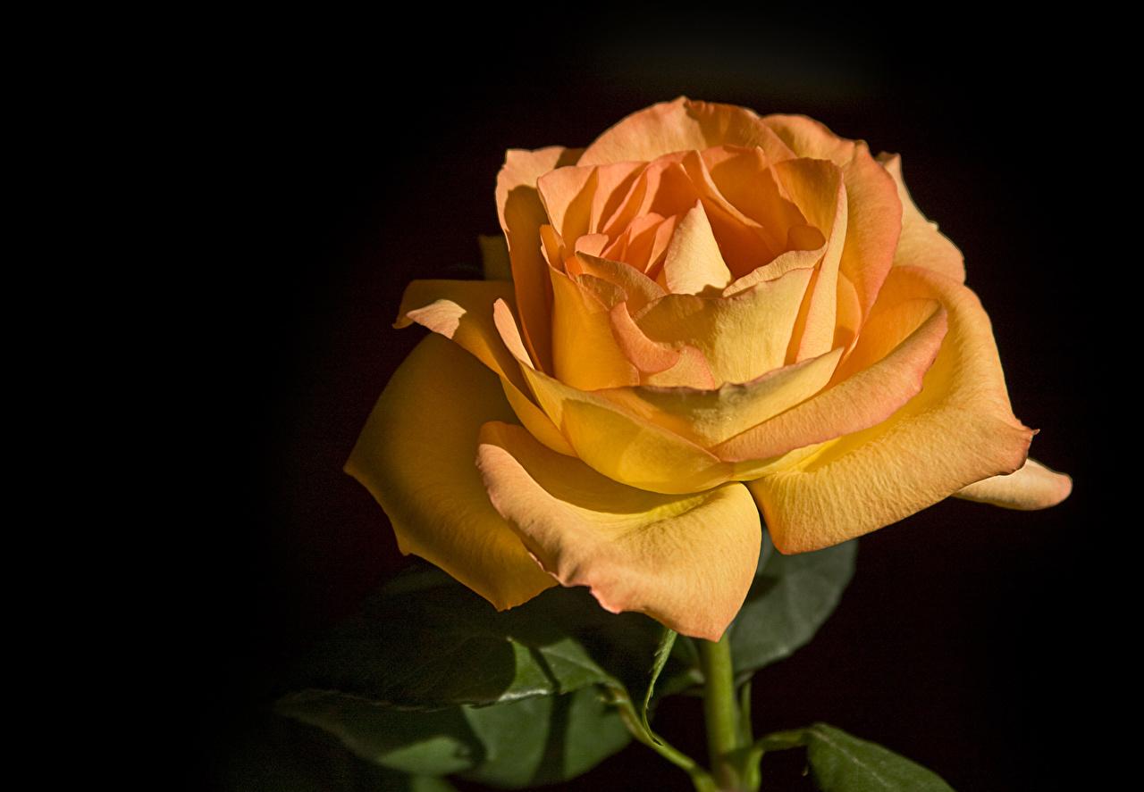 Картинка роза оранжевые цветок вблизи на черном фоне Розы оранжевых оранжевая Оранжевый Цветы Черный фон Крупным планом