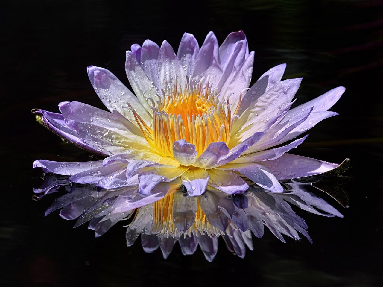 Картинки цветок капельки Кувшинки отражении Крупным планом Цветы Капли капля капель Отражение отражается Водяные лилии вблизи