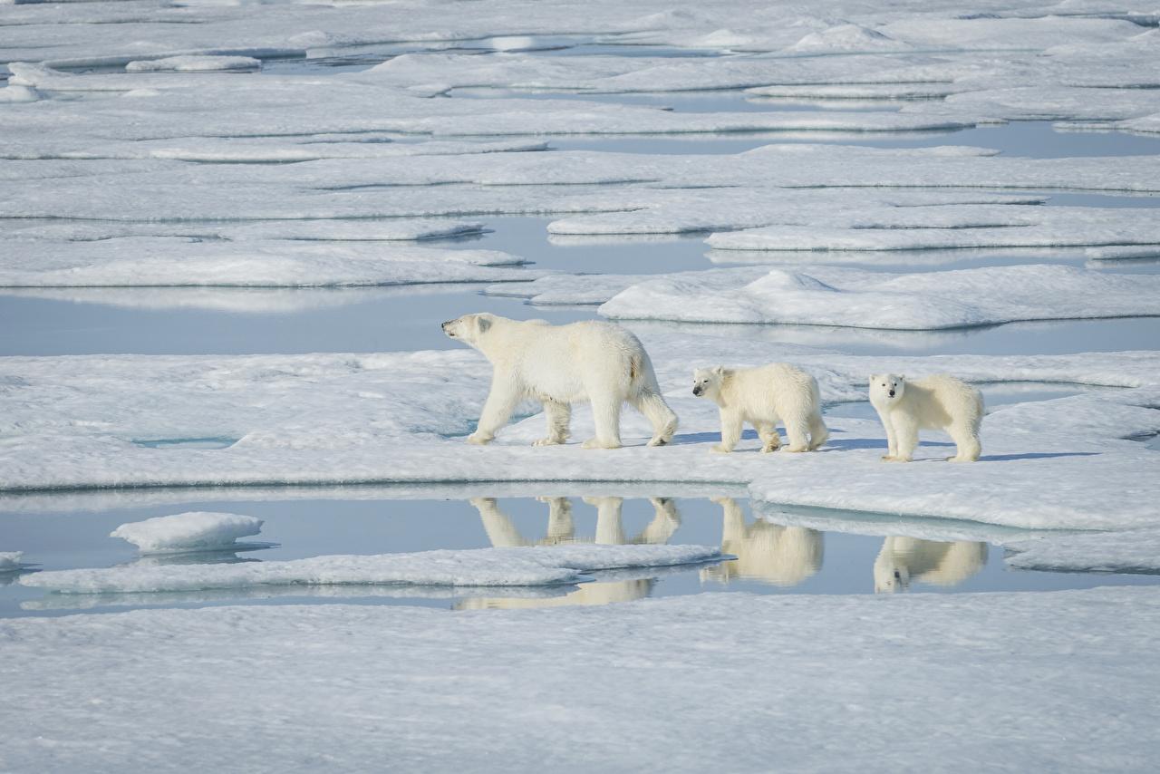 Фото Белые Медведи Медведи Детеныши льда Вода втроем животное северный полярный Лед три Трое 3 Животные