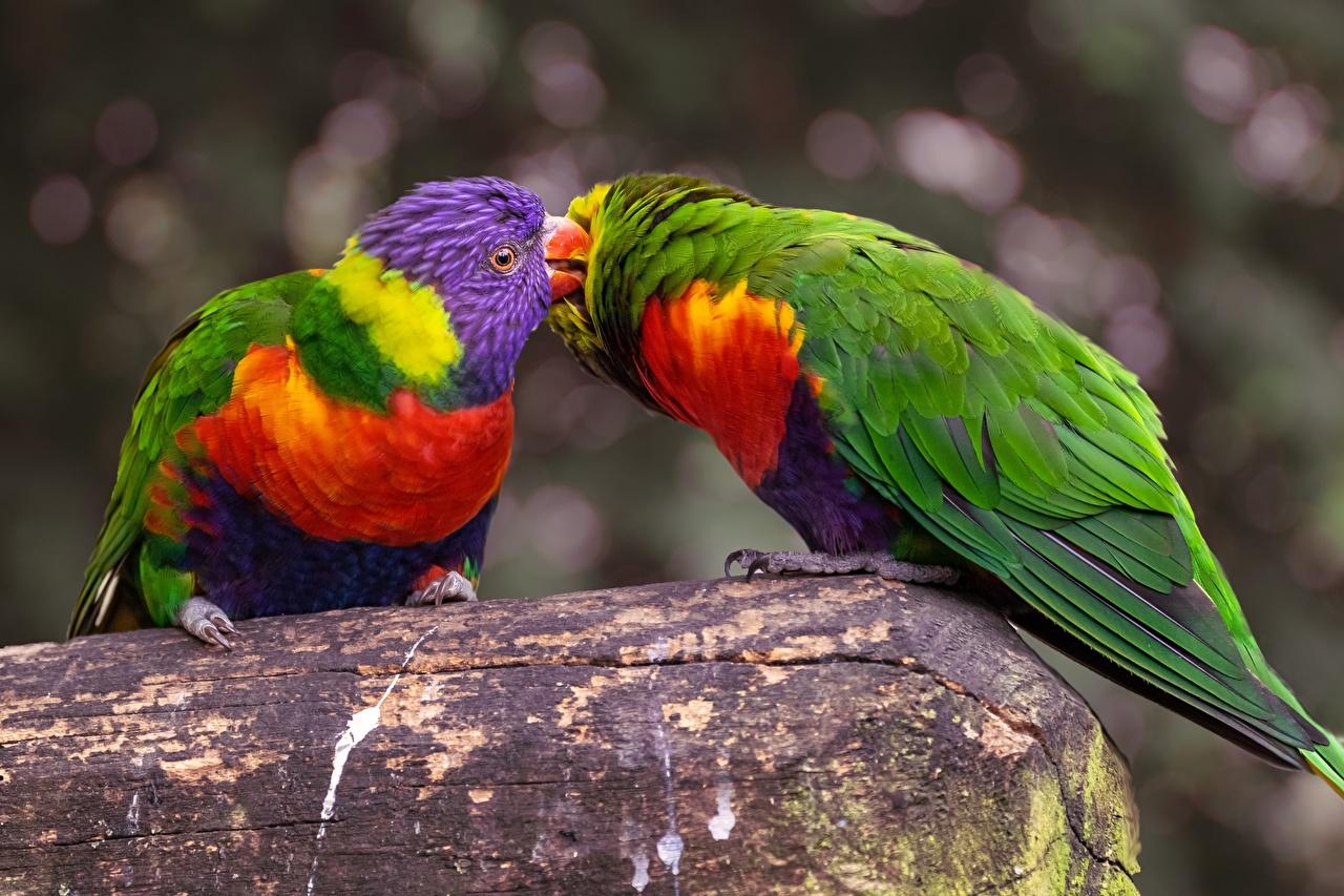 Обои для рабочего стола Птицы Попугаи Двое Животные птица 2 два две вдвоем животное