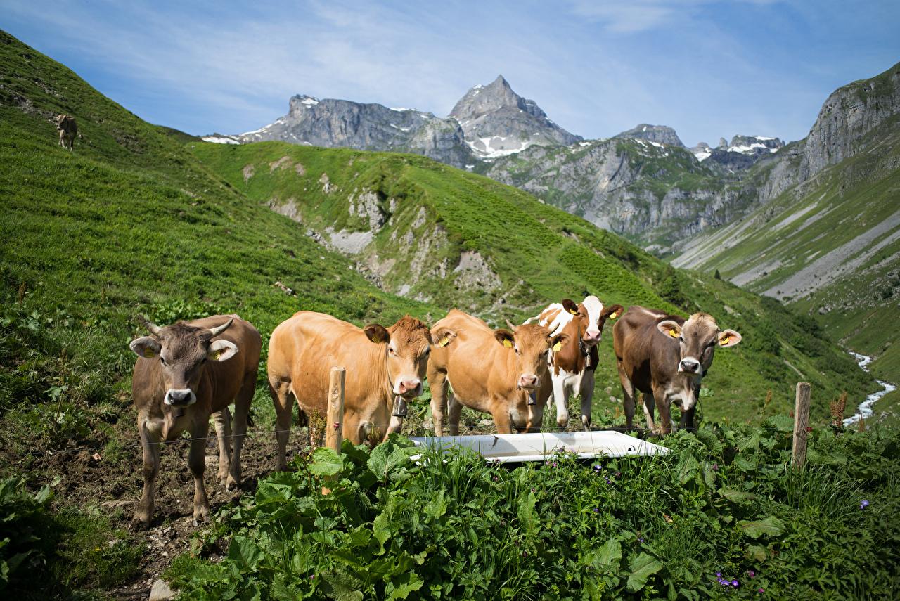 Фотография коровы Альпы Швейцария Muotathal гора Природа Животные Корова альп Горы животное