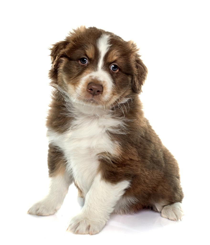 Картинка аусси щенков собака Сидит животное белом фоне  для мобильного телефона щенка Щенок щенки Австралийская овчарка Собаки сидя сидящие Животные Белый фон белым фоном
