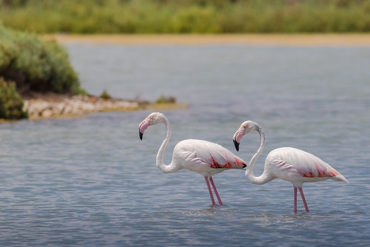 Картинки птица Фламинго две воде животное Птицы 2 два Двое вдвоем Вода Животные