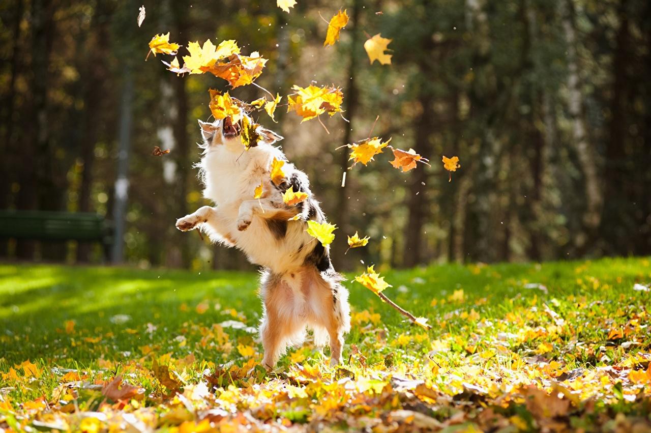 Обои для рабочего стола Собаки Листва Играет осенние животное собака лист Листья играют Осень Животные