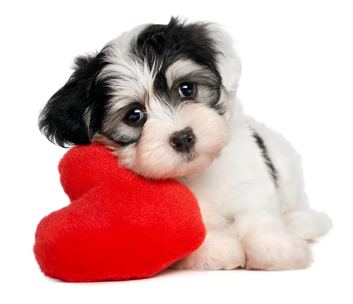 Фотография Щенок День святого Валентина собака сердца смотрит Животные Белый фон щенка щенки щенков День всех влюблённых Собаки серце Сердце сердечко Взгляд смотрят животное белом фоне белым фоном