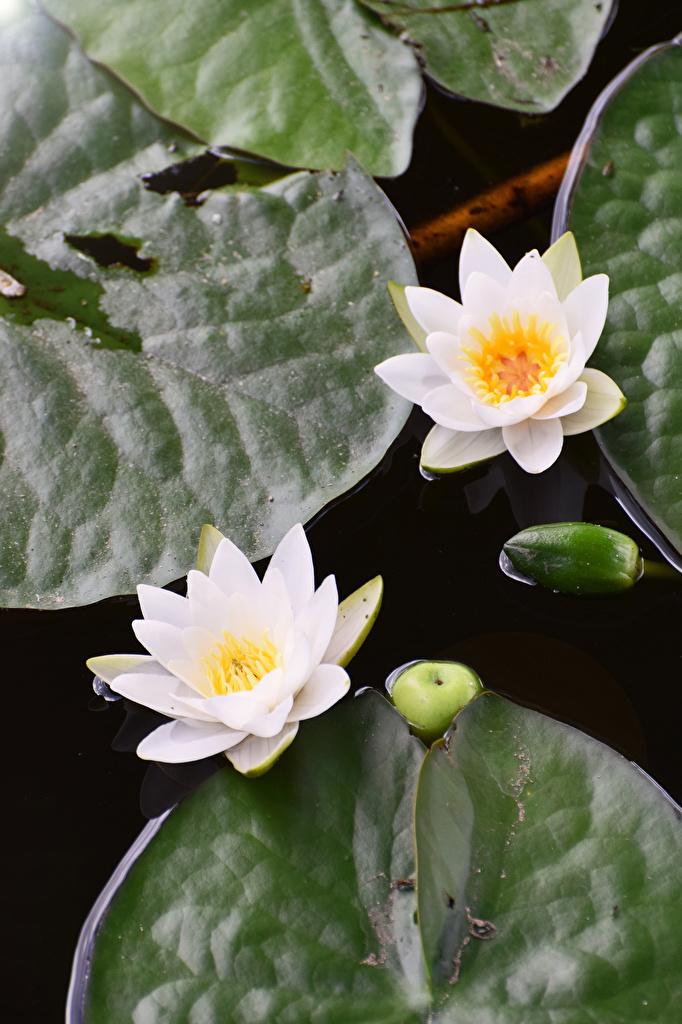 Фотографии Двое белые Цветы Водяные лилии  для мобильного телефона 2 два две белая Белый белых вдвоем цветок Кувшинки