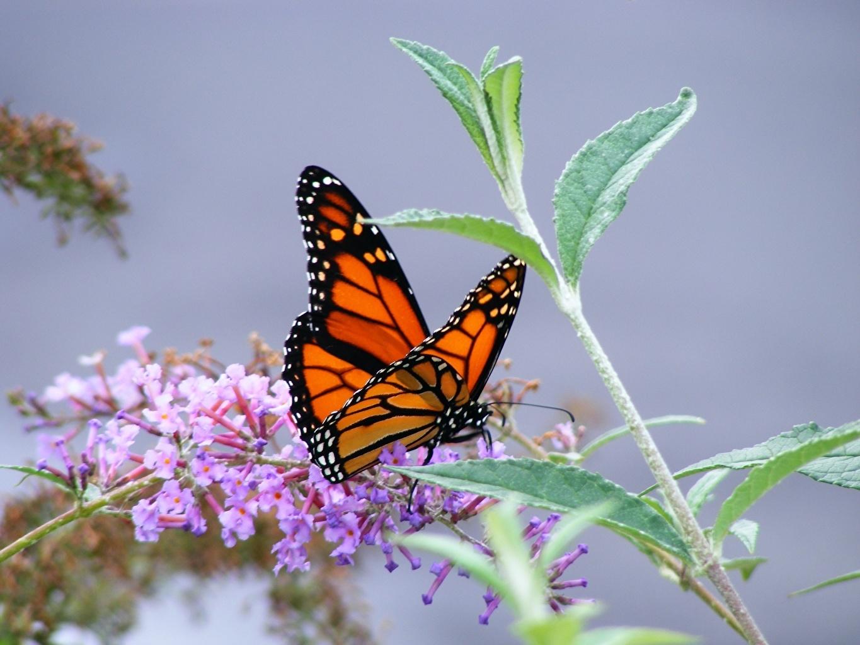 Фотографии Данаида монарх Бабочки Насекомые Животные бабочка насекомое животное