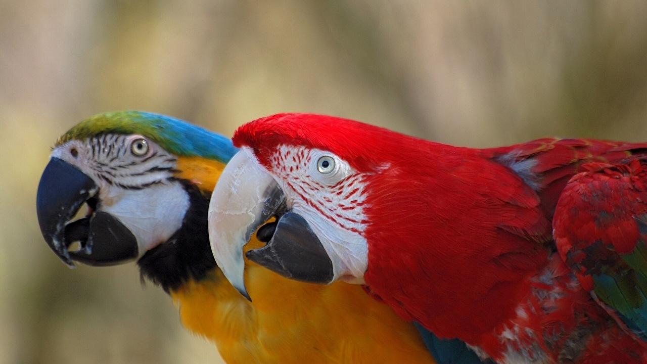 Картинки Птицы Попугаи Клюв две животное птица 2 два Двое вдвоем Животные
