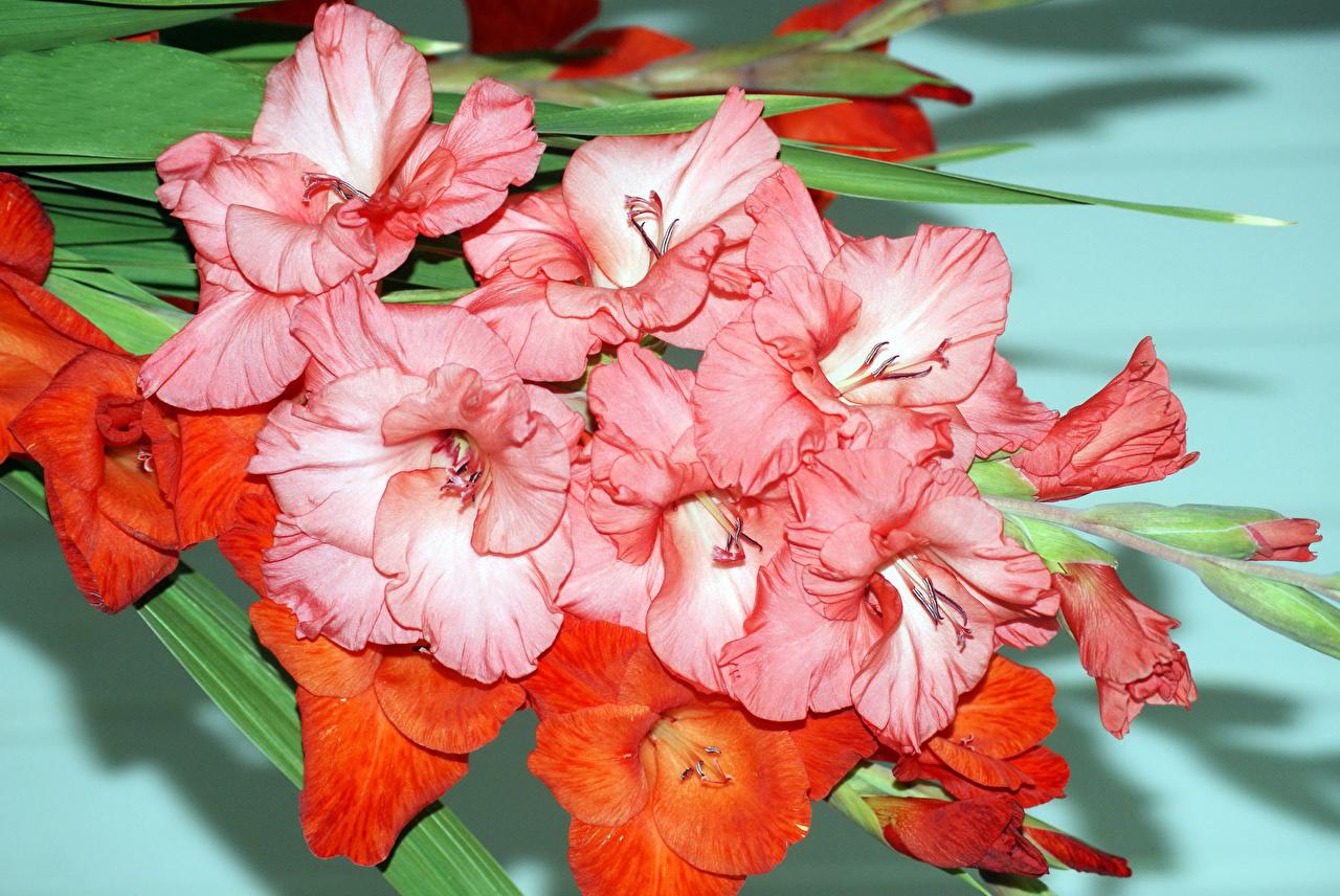 Картинка розовых цветок Гладиолусы вблизи розовая розовые Розовый Цветы гладиолус Крупным планом