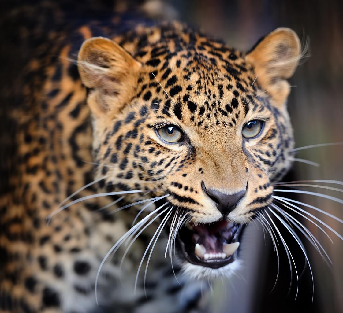 Фото Леопарды Оскал Усы Вибриссы морды смотрят животное леопард злой рычит злость Морда Взгляд смотрит Животные