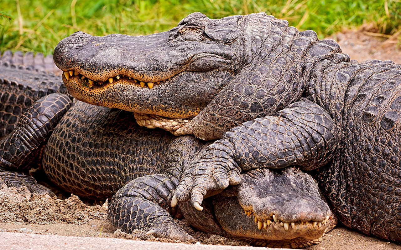 Обои для рабочего стола крокодил вдвоем Животные Крупным планом Крокодилы 2 два две Двое вблизи животное