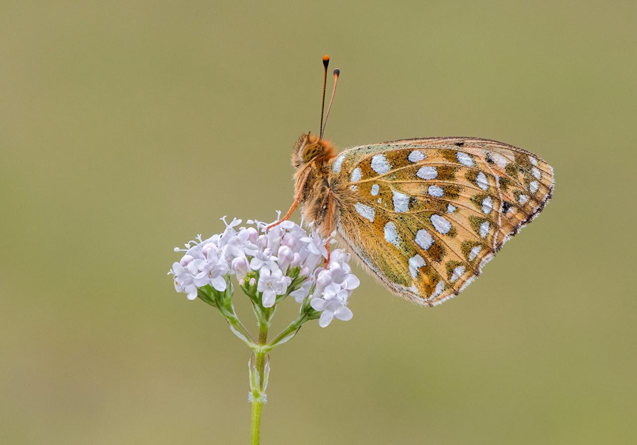 Фотография Бабочки Насекомые dark green fritillary Животные Крупным планом бабочка насекомое вблизи животное
