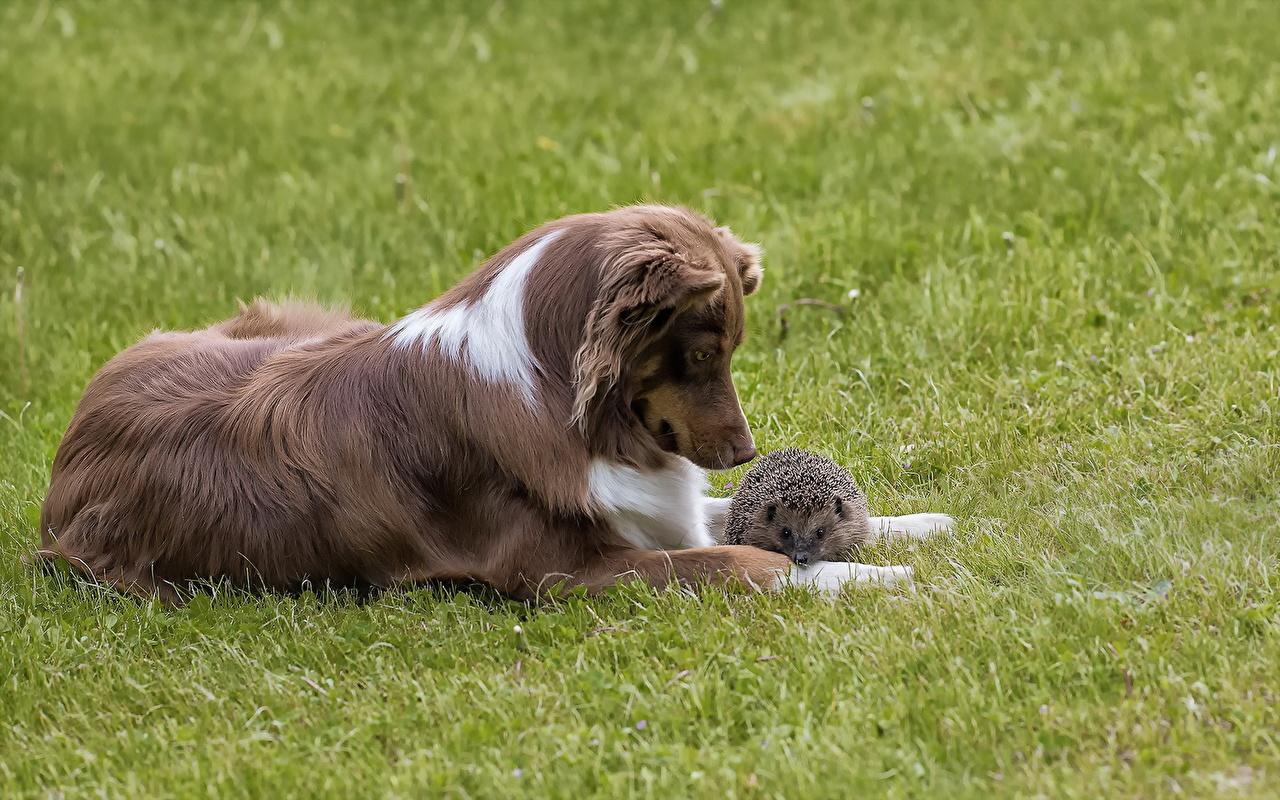 Фото Ежи собака Трава Животные Ежики Собаки траве животное