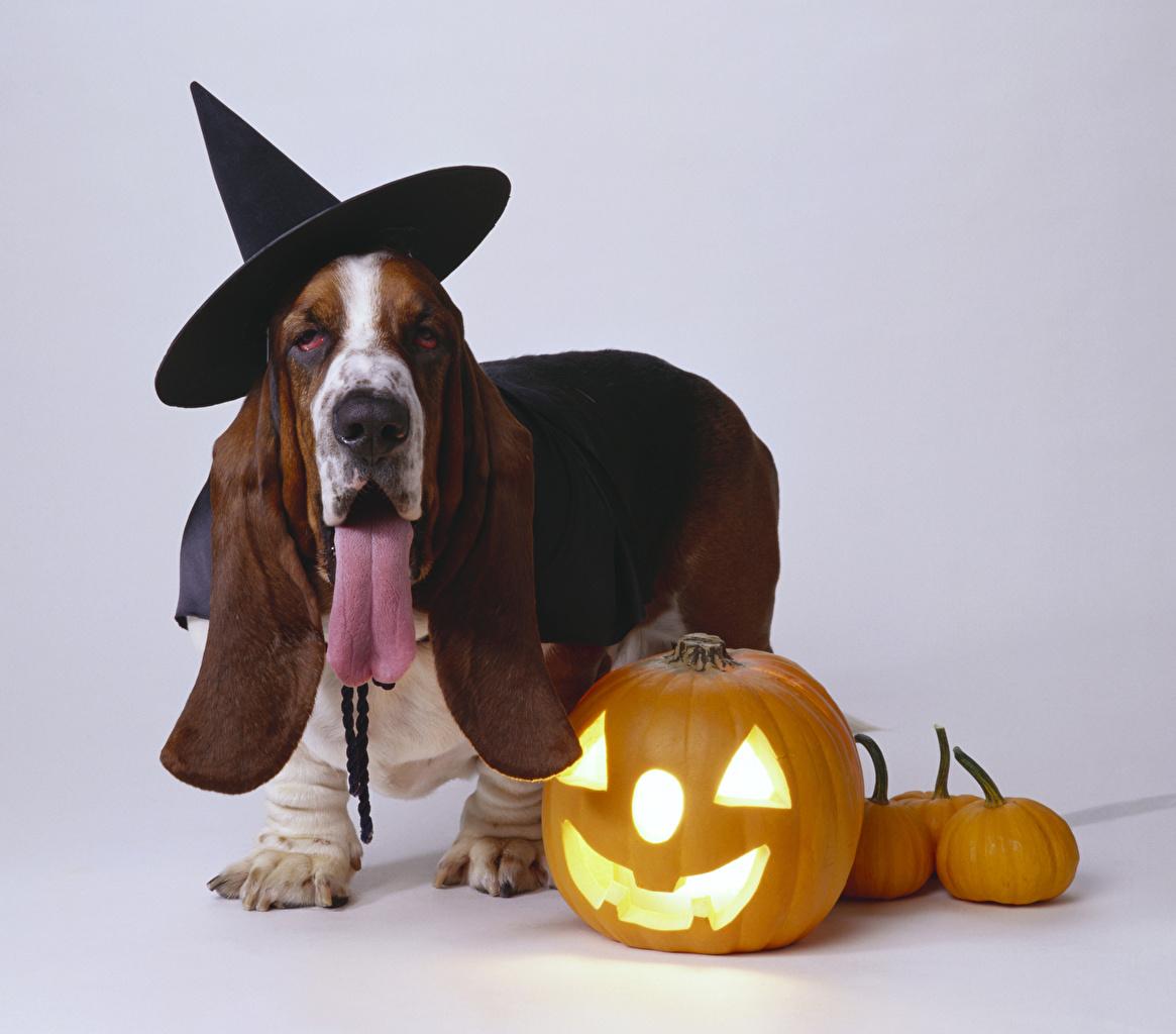Обои для рабочего стола Бассет хаунд Собаки шляпы Тыква хэллоуин Язык (анатомия) животное Серый фон собака шляпе Шляпа языком Хеллоуин Животные сером фоне