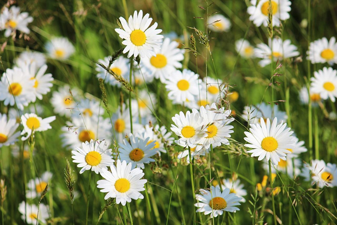 Картинка Размытый фон цветок ромашка Крупным планом боке Цветы Ромашки вблизи