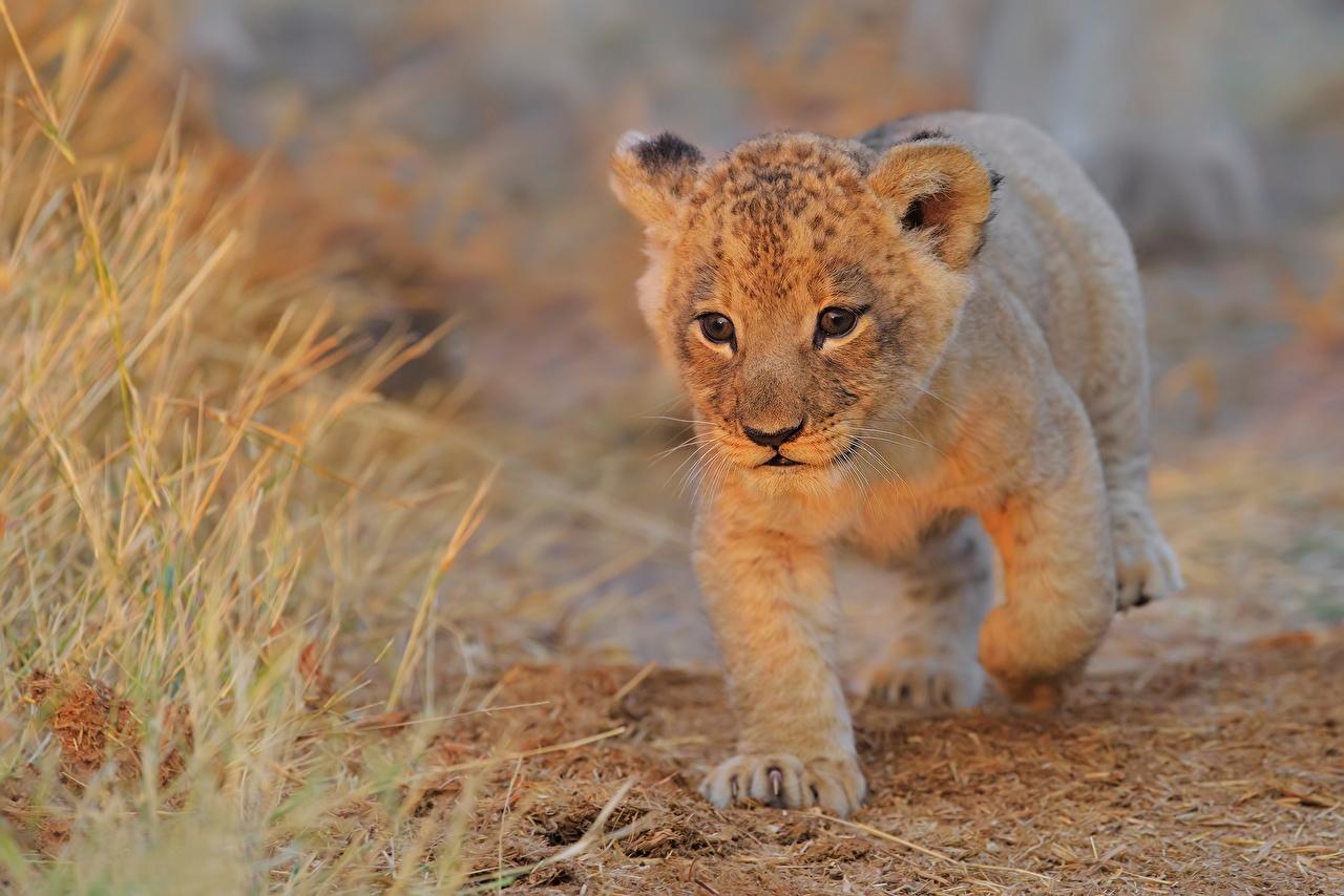 Обои лев Детеныши смотрит животное Львы Взгляд смотрят Животные