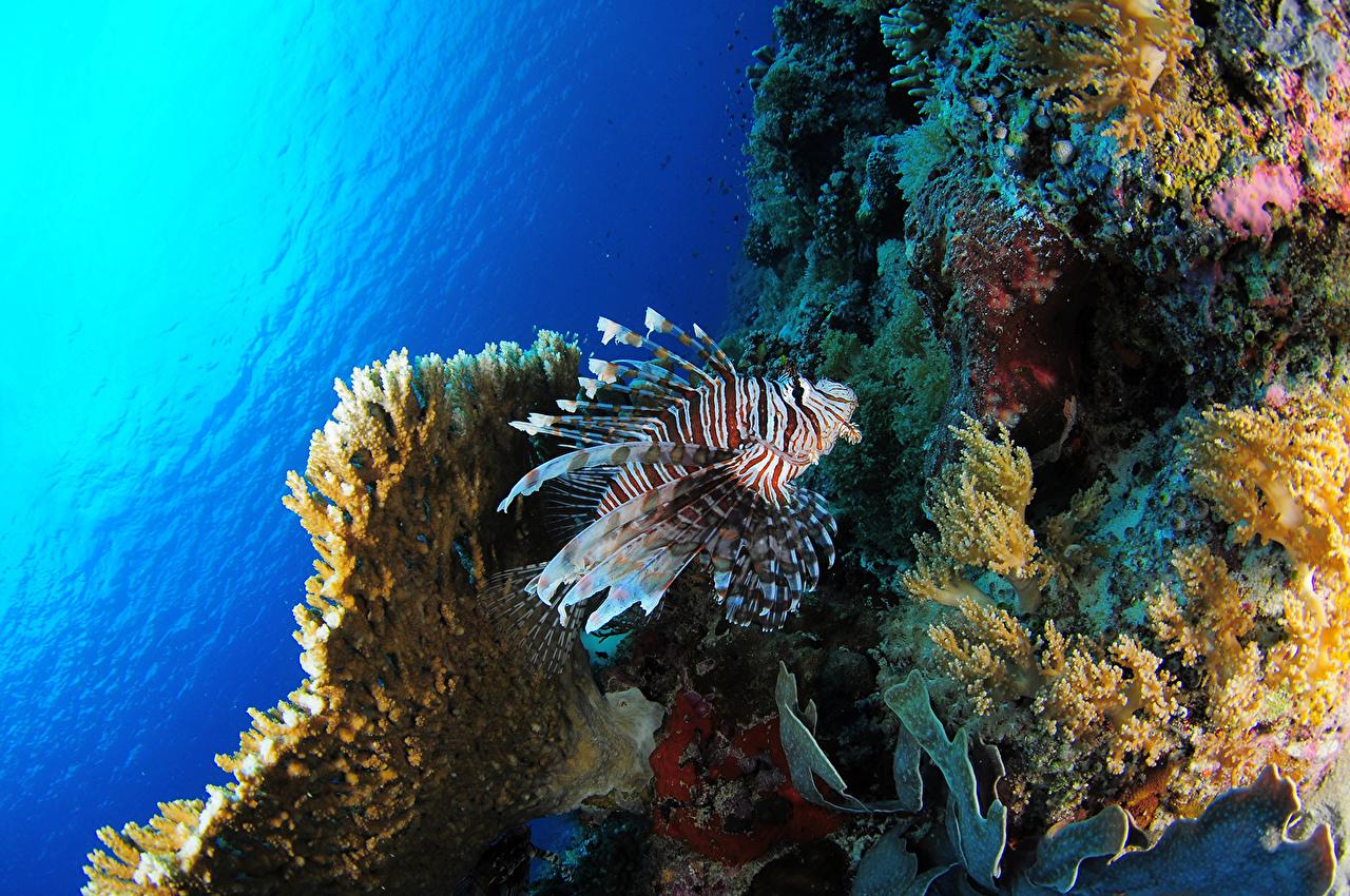 Картинки Крылатки Подводный мир Кораллы Рыба Животные крылатка животное