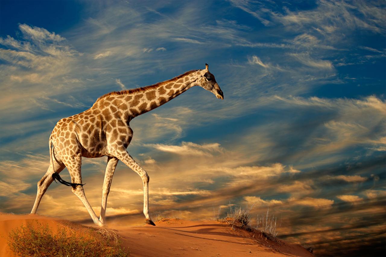 Обои Жирафы Небо Животные