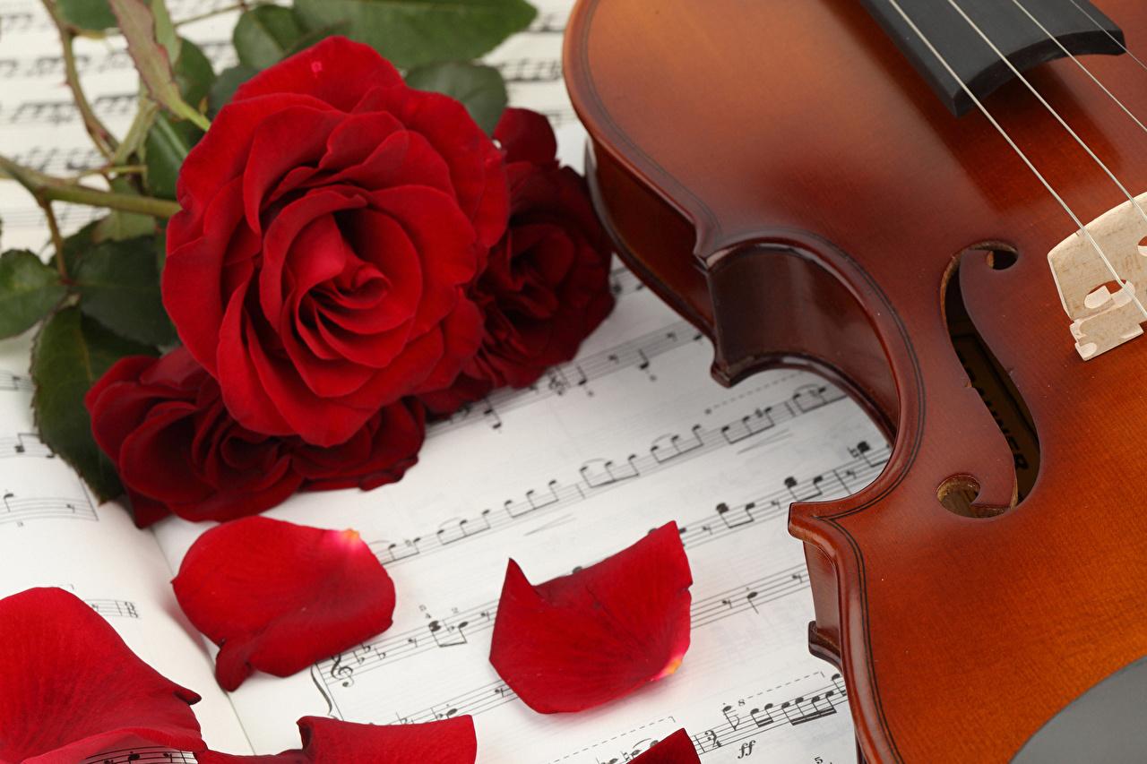 Фотография Ноты Розы красная Лепестки Цветы роза красных красные Красный лепестков цветок