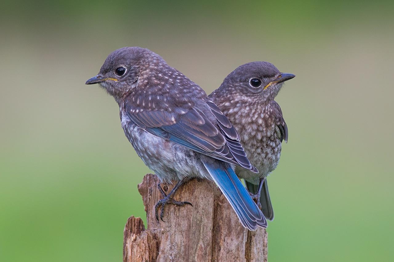 Фото Птицы Sialia Двое пне животное птица 2 два две вдвоем Пень Животные