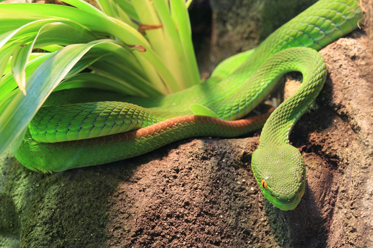 Картинки Змеи зеленых животное Зеленый зеленые зеленая Животные